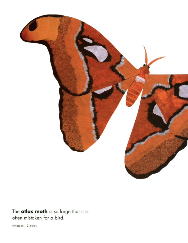 "Large orange atlas moth with the text: ""The atlas moth is so large that it is often mistaken for a bird. Wingspan: 12 inches."" Illustration from ""Actual Size""."